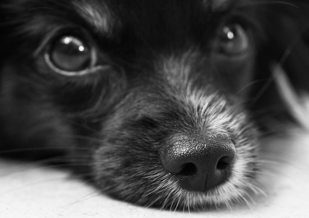 dog, puppy, papillon